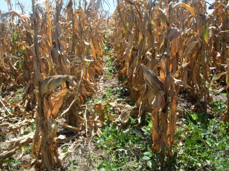 Some 20 percent of maize cultivation has been written off